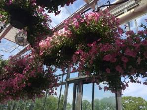 pink_petunia_hangingbasket