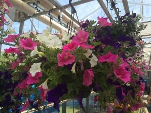 pink_white_purple_hangingbasket