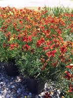 coreopsis_red_yellow