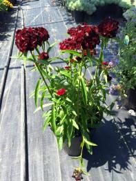 dianthus_red