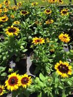 echinacea_yellow