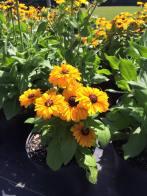 echinacea_yellow_short
