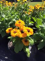 echinacea_yellow_short