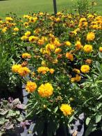 golden_globe_tickseed_coreopsis