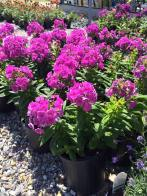 purple_flame_garden_phlox